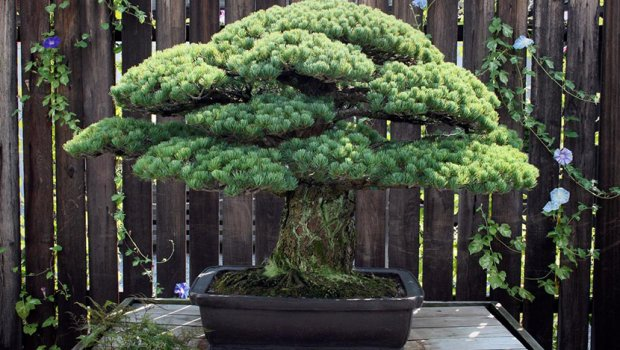 Ова дрво е старо 400 години   Ја преживеало и атомската бомба во Хирошима